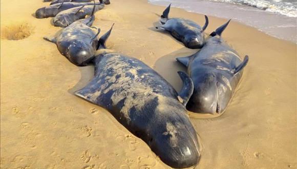 Ballenas piloto yacen hoy sobre la arena de una playa tras quedar varadas cerca de Titicorin, en Tamil Nudu (India). Foto: EFE.