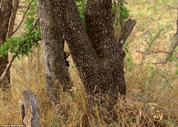 En esta imagen esta escondido un leopardo.