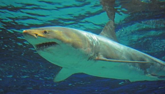 Aseguran los especialistas que mantener un gran tiburón blanco en cautiverio es extremadamente difícil. Foto: AP