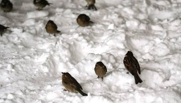 Pese a la nieve, se siguen viendo pequeñas aves en el Central Park, en Nueva York. Foto: AFP