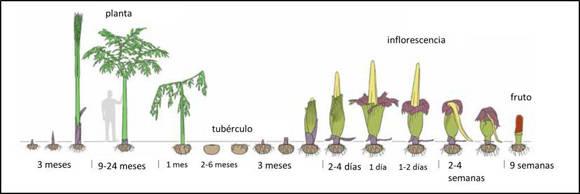 Ciclo de vida de la flor más grande del mundo.