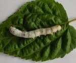 gusano de seda