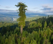 La especie de árbol Hyperión, de la familia de las sequoia, puede superar los 100 metros de altura. Foto: National Geographic.
