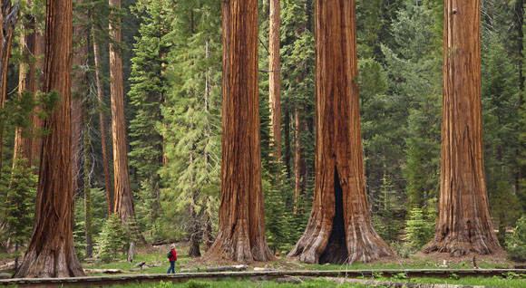 El hombre luce insignificante cerca de las gigantes Sequoias.