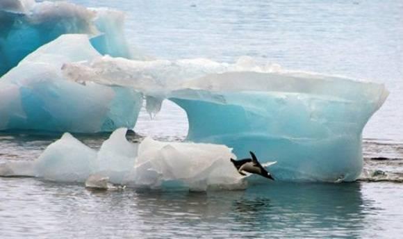 Un pingüino se lanza desde un iceberg en la base Comandante Ferraz de Brasil, en la Antártida, el 10 de marzo de 2014. (AFP | Vanderlei Almeida)