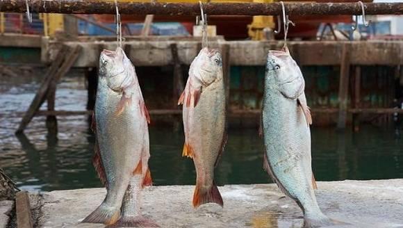 peces-nutricionales-panama