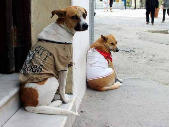 Dos perros abrigados en este invierno en Cuba. Foto: Abel Rojas