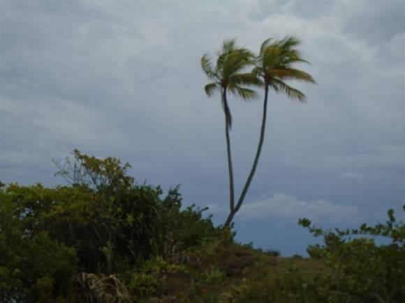 Dos cocoteros en un mismo tronco, en Baracoa, Guantánamo. Foto Ignacio Hernandez Salbat / Cubadebate
