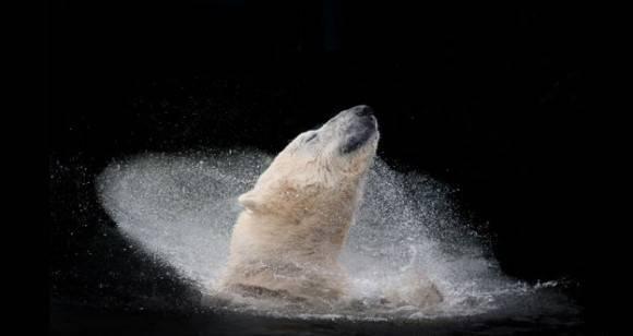 Oso polar, de Michaela Smidova, ganó en la categoría Naturaleza Salvaje de la competencia Abierta. Foto: Michaela Simidova.
