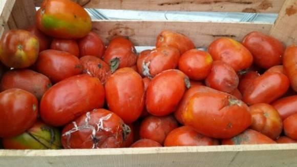 Desechos de tomates. Foto tomada de Correo del Orinoco.