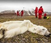 Este oso polar murio de hambre en Svalvard, Noruega. La desaparicion de las capas de hielo estan robando a los osos polares de tanto en su espacio de vida y la alimentacion.