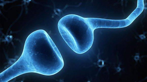 Este mecanismo natural de eliminación de las conexiones neuronales llevó a los científicos a la conclusión que la proteína C1q podría estar implicada también en el proceso de destrucción de las sinapsis durante el desarrollo del mal de Alzheimer.