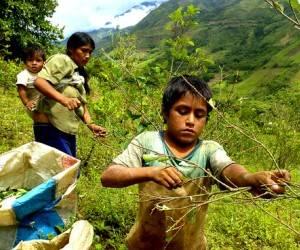 Familias pobres trabajan en cultivo de coca en Perú. Foto: Archivo.