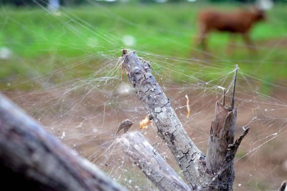 Telaraña en una cerca de una vaqueria en camaguey