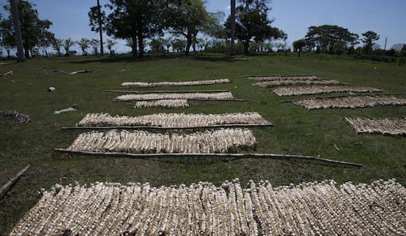 """""""El país desarrolló genotipos muy importantes, que son nuestros. Además, nuestra provincia ha contado con 46 criadores de ganado cebú cubano y sus variedades. Y tenemos igualmente a criadores que protegen rebaños de importación"""". Foto: Ismael Francisco/ Cubadebate"""