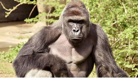 Harambe, un gorila de 17 años, fue abatido por la Policía para salvar la vida de un niño que cayó en su jaula. Foto: Reuters.