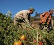 Siembra de tomates. Foto: Archivo.