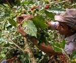 Recolector cubano de café en la oriental provincia de Santiago de Cuba. Foto: AFP