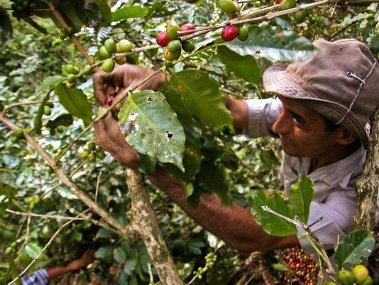 Café cubano llegará a Estados Unidos a través de un tercero, anuncia USA Today