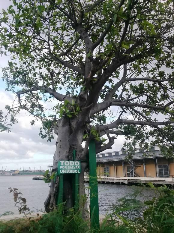 Todo por un árbol. Foto: Sergio Cruz Castillo, del Centro de Ingeniería Genética y Biotecnología / Cubadebate