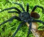 """""""Kankuamo marquezi"""", la una nueva especie de tarántula descubierta en Colombia. Foto: Zookeys."""