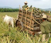 Cultivo de la piña en los campos cubanos. Foto: Archivo.