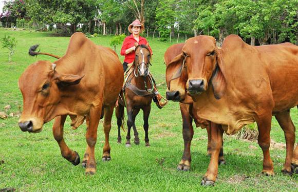 La ganadería cubana será fortalecida con este proyecto de inversión. Foto: Raúl Abreu/ Opciones.