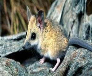 Se trata de un pequeño roedor endémico del continente oceánico, científicamente identificado como Melomys rubicola o rata cola de mosaico