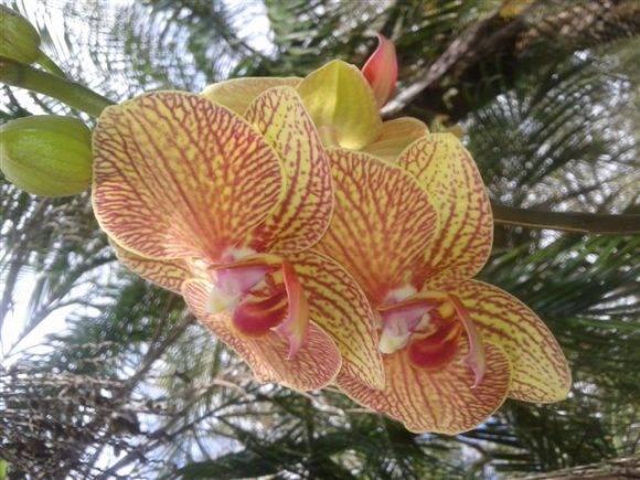 Las orquídeas de mi amiga. Foto: Josefina Barrabia Ortiz / Cubadebate