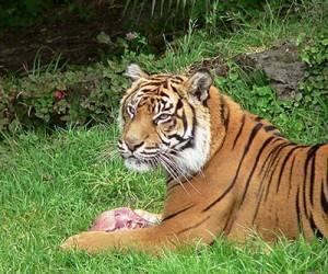 animales-salvajes-tailandia-tigre1-300x250