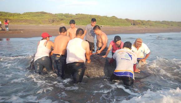 De no poder regresar al mar el cachalote bebé podría morir. Foto: Tortuga Fundación Yépez.