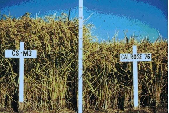 """El arroz enano """"Calrose 76"""" de los EEUU se logró con rayos gamma. Se estima que el 15 % del arroz producido en el mundo y el 50 % del frijol de soya son mutantes."""