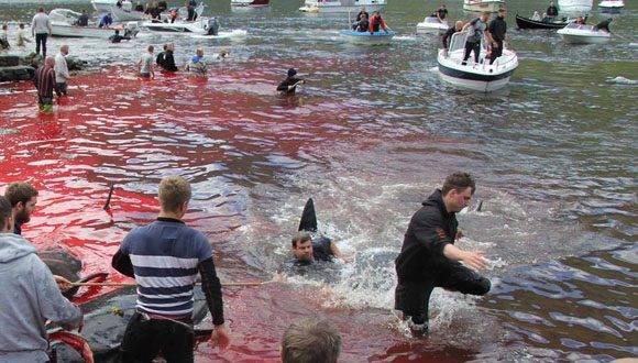 Una tradición sangrienta y que debería desaparecer. Foto: Norðlýsið.