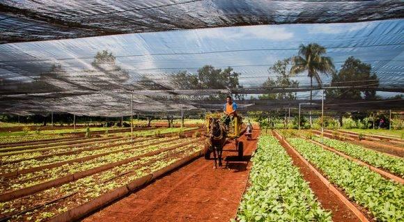 agricultura organica cuba