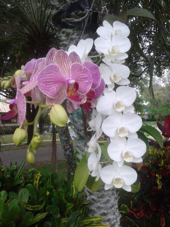 Las orquídeas de una amiga. Foto: Fefy / Cubadebate