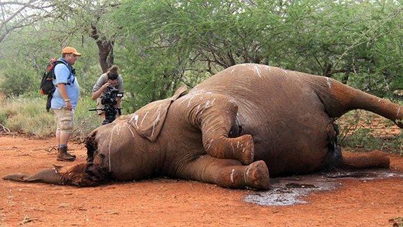 Impactante imagen que muestra el cuerpo de un elefante destrozado por los cazadores furtivos en Botsuana. Foto: Gran Censo de Elefantes.