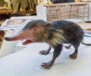 Un modelo de la Solenodonte cubana, una musaraña como animal. Créditos Sara Krulwich / The New York Times