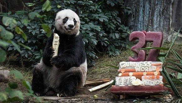 Jia Jia, la osa panda gigante más vieja del mundo en cautiverio, falleció a la edad de 38 años, equivalente a un siglo de vida en los humanos. Foto: AFP.