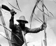 Fidel en el medio de la zafra en 1970. Foto: Gilberto Ante Getty.