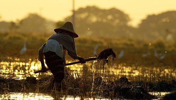 A farmer works in an irrigated rice field as the sun sets in Naypyitaw, Myanmar, Tuesday, Jan. 24, 2017. (AP Photo/Aung Shine Oo)