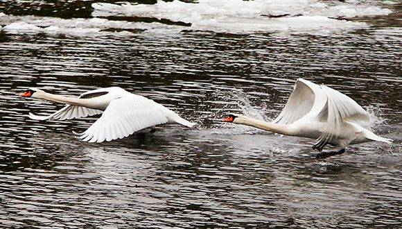 Two swans take off from the Main river in central Frankfurt, Germany, Wednesday, Jan. 25, 2017. (AP Photo/Michael Probst)