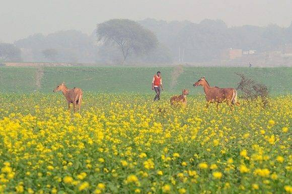 Indian nilgai, the largest of the Asian antelopes also known as blue bulls, are seen in a mustard field in Jhunsi village on the outskirts of Allahabad on January 7, 2017. / AFP PHOTO / SANJAY KANOJIA