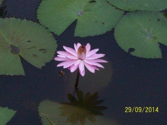 Flor acuática en Las Terrazas, Artemisa. Foto: Lídice / Cubadebate