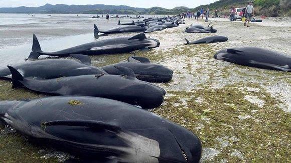 Las ballenas muertas en la playa de Farewell Spit. Foto: AFP.