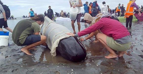 Gracias al trabajo de los voluntarios, al menos un centenar logró volver a nadar en alta mar. Foto: Tracy Neal/ AFP.