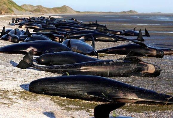 Más de tres centenares de cetáceos murieron en las costas de Nueva Zelanda. Foto: Anthony Phelps/ Reuters.