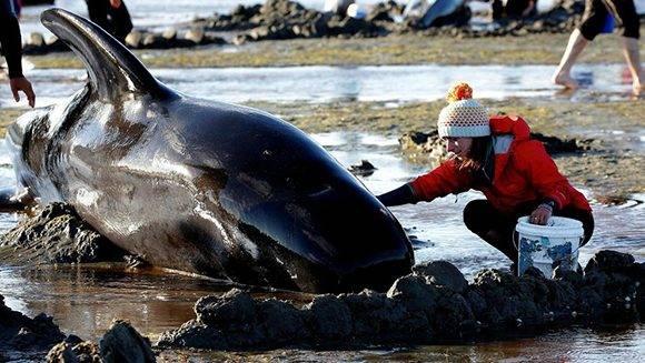 Una mujer ayuda a una ballena piloto en Nueva Zelanda. Foto: Anthony Phelps/ Reuters.