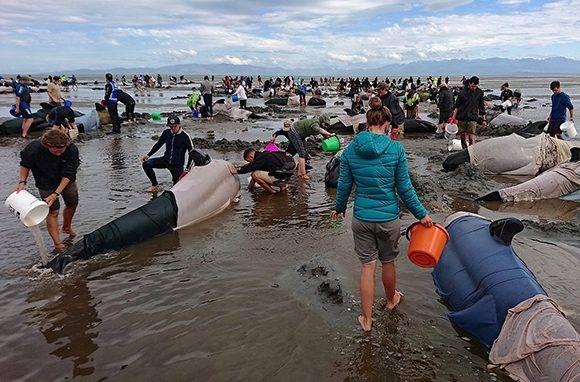 Los voluntarios intentaron socorrer a las ballenas, pero lamentablemente la mayoría de ellas murieron. Foto: Ross Wearing/ Reuters.