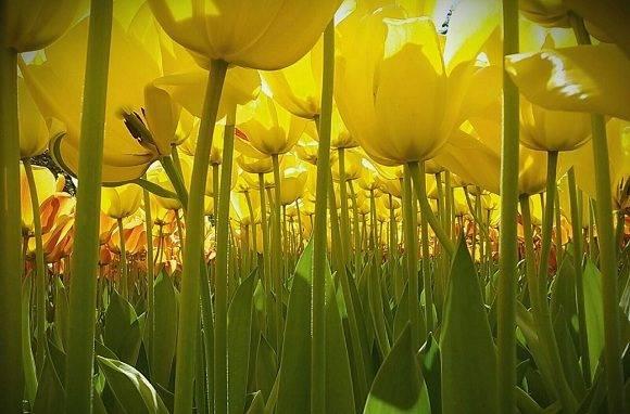El poder de las flores. Dewi Baggerman tiene 11 años y es de los Países Bajos. Ganó el primer premio internacional por esta foto de tulipanes tomada desde el suelo. Foto: Dewi Baggerman/ National Geographic.