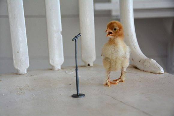 Deja caer el micrófono. Esta foto hecha por Kate Anderson, de 12 años, a un polluelo de avestruz ganó el primer premio de Estados Unidos. Foto: Kate Anderson/ National Geographic.